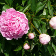 Paeonia — Photo
