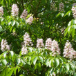 Indian horse chestnut — Stock Photo