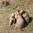 Black-tailed prairie dogs — Stock Photo