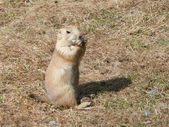 Black-tailed prairie dog — Stock Photo