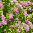 Spiraea japonica (Japanese spiraea) — Stock Photo