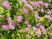 Spiraea japonica (Japanese spiraea) — Stock Photo