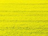 Rapeseed (Brassica napus) — 图库照片
