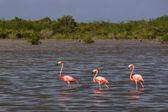 Flamingos in water in Cuba — Stock Photo