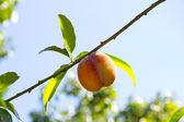 Fresh peach — Stock Photo
