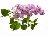 Lilac with leave — Stockfoto
