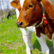 A young calf in nature — Stock Photo