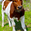A young calf in nature — Stock Photo #23585385