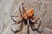 Brown spider — Stock Photo