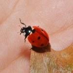 Ladybug — Stock Photo #36452531