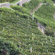 Alpine vineyards — Stock fotografie