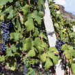 Alpine vineyards — Stock Photo