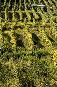 Alpines vineyards — Stock Photo
