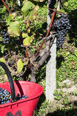 Harvest in alpines vineyards — Stock Photo