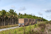 Trucks for transport of sugarcane — Stock Photo