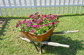 Red flowers in a wheel barrow — Stock Photo