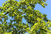 Apple green, apple tree — Stock Photo