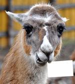 Lama — Stock fotografie