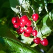 Stock Photo: Wolfberry
