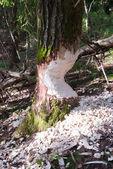 Beaver damage to spruce tree. Kaliningrad region, Russia — Stock Photo