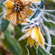 Frosty yellow flowers — Stock Photo