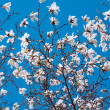 Spring blooming magnolia tree — Stock Photo