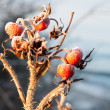 Stock Photo: Frozen rose hips