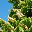 Flowering branches of chestnut — Stock Photo #25429975