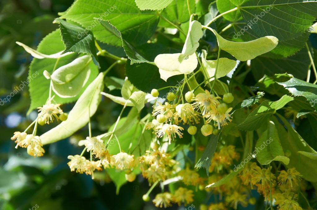 Pine Pollen Testosterone A Powerful Erection Booster