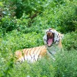 Large tiger yawns — Stock Photo