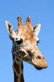 Portrait of giraffe (Giraffa camelopardalis) — Photo