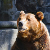 Ritratto di orso — Foto Stock