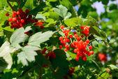 Red Viburnum berries in autumn — Stock Photo