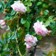 White-Pink Rose bush — Stock Photo