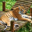 Stock Photo: Tiger resting