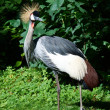 Stock Photo: Grey Crowned Crane (BalearicRegulorum)