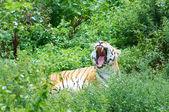 Large tiger yawns — Stock Photo