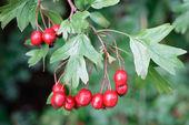 Ripe hawthorn in autumn — Stock Photo