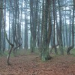Dancing trees in National park Curonian Spit — Stock Photo