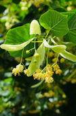 Linden Tree (lime tree) linden blossom — Stock Photo
