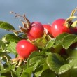 Ripe berries of briar on branch — Stock Video