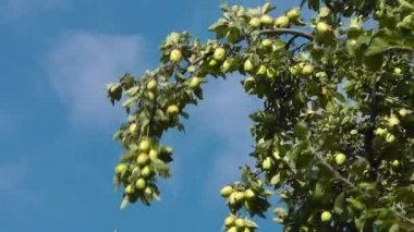 Apples on a tree branch — Stock Video