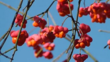 Spindle Tree — Stock Video