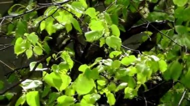 Linden tree — Vídeo de stock