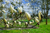 Spring blooming magnolia tree  — Stock Photo