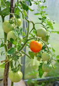 Tomatoes ripening in greenhouse — Stock Photo