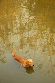 Dog in the river — Stock Photo