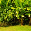 Tropical plant garden style — Stock Photo