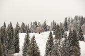 冬天松树森林背景 — 图库照片