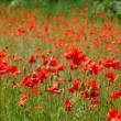 Stock Photo: Beautiful poppies field
